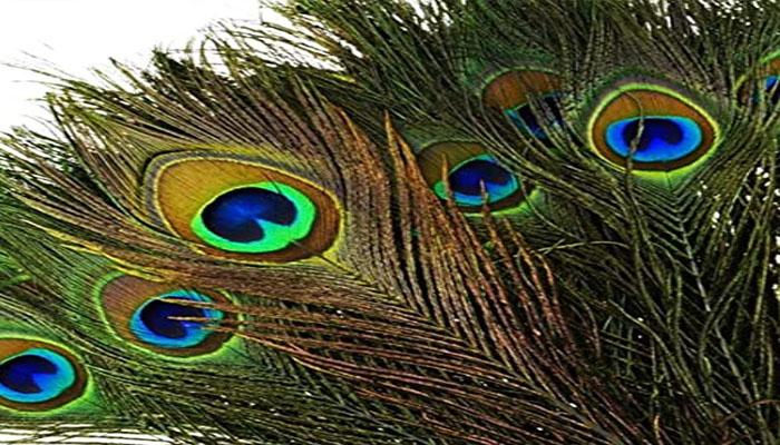വീട്ടിലെ അഭിവൃദ്ധിക്ക് മയില്പ്പീലി സൂക്ഷിക്കാം